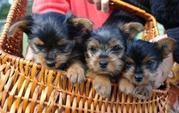 Angelic Teacup Yorkies Available Now for free